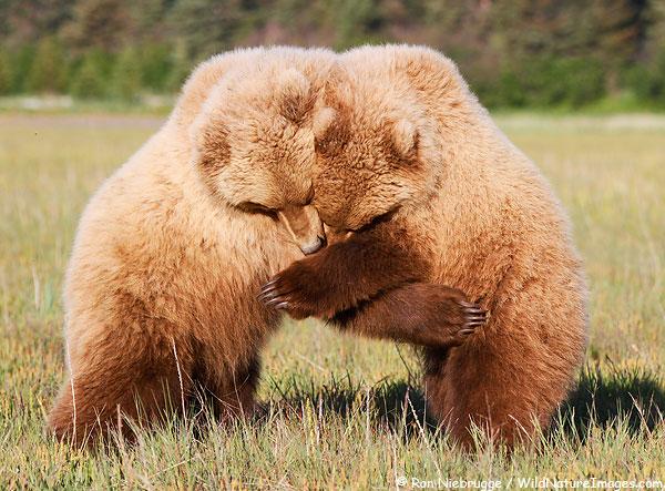 Brown bear cubs, Lake Clark National Park, Alaska.