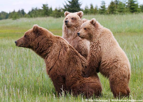 Brown bear sow with cubs, Lake Clark National Park, Alaska.