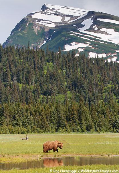 Brown Bear sow, Lake Clark National Park, Alaska.