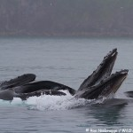 Bubble Net Feeding Humpbacks