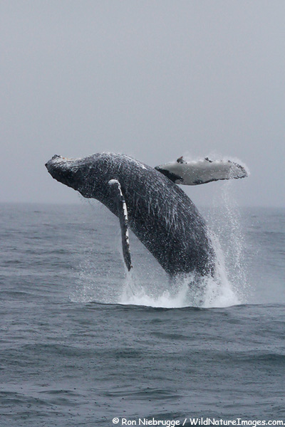 Breaching humpback whale, Kenai Fjords National Park, Alaska.