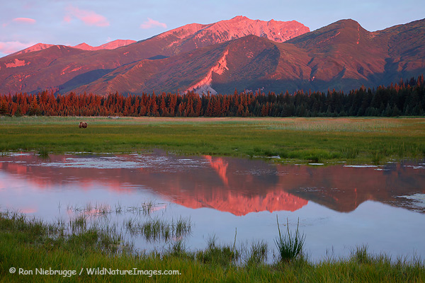 Brown bear feeds in a meadow at sunrise, Lake Clark National Park, Alaska.