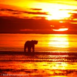 Brown Bear Sunrise