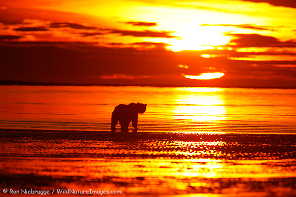 A Brown Bear appears to be looking at the rising sun as it searches for clams, Lake Clark National Park, Alaska.