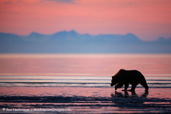 A bear looks for clams at sunrise, Lake Clark National Park, Alaska.