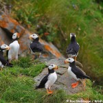 Lots of Puffin!