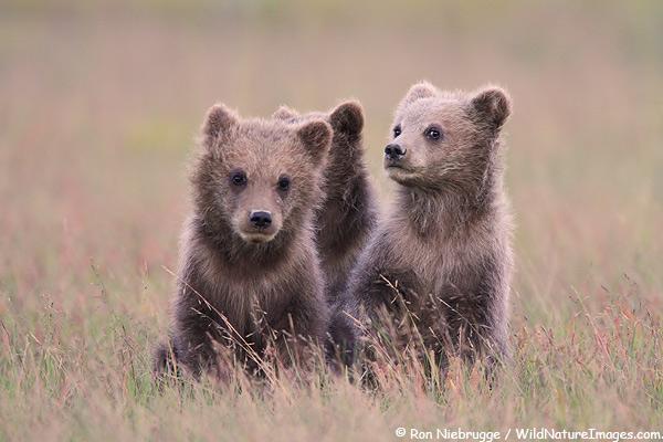 Three brown bears cubs, Lake Clark National Park, Alaska.