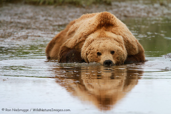A brown bear cools off by laying in the water this past June, Lake Clark National Park, Alaska.