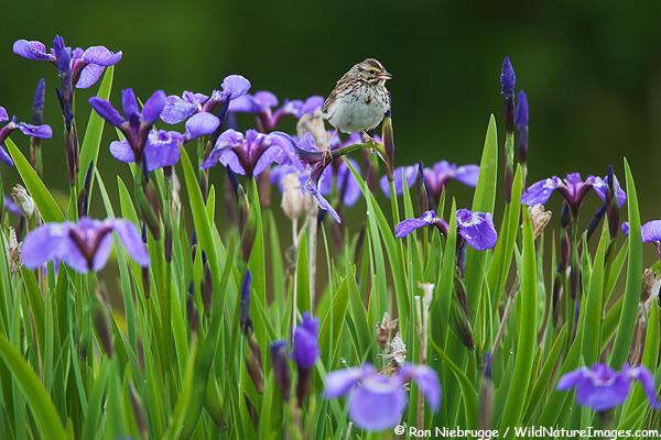 Savannah Sparrow on wild iris, Chugach National Forest, Alaska.