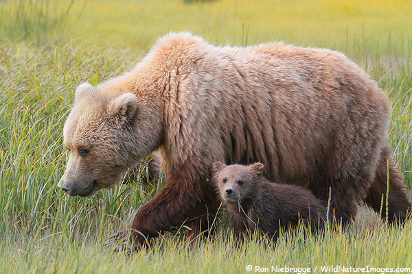 Sow with cub, Lake Clark National Park, Alaska.