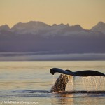 Sunrise Humpback Whale