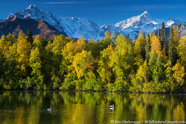 Swans, Alaska.