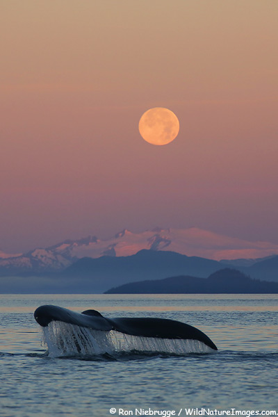Humpback whale in the Fredrick Sound, Southeast, Alaska.