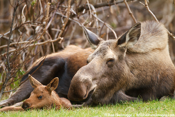 Cute moose calf - photo#11