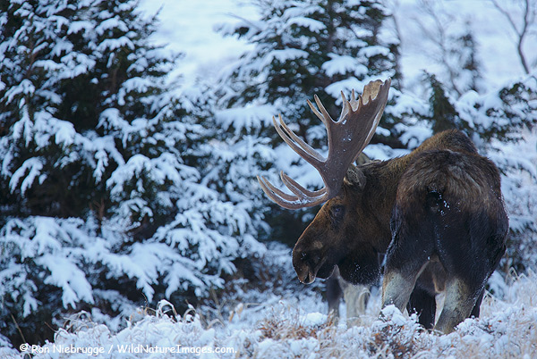Winter Moose - Photo Blog - Niebrugge Images