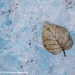 Glacier Leaf