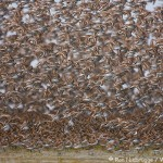 Alaska Shorebird Migration