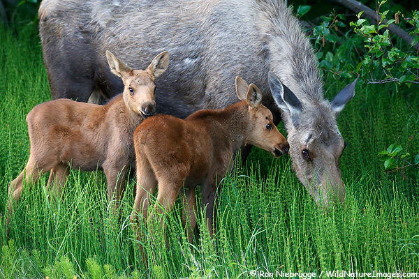 Cute moose calf - photo#28