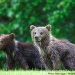 Baby Bear Cubs