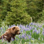 Brown Bear and Lupine