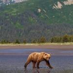 Lake Clark Bears