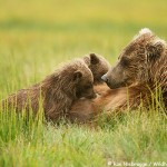 Nursing Bears