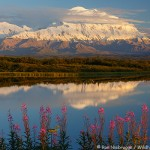 Denali Fireweed Reflections