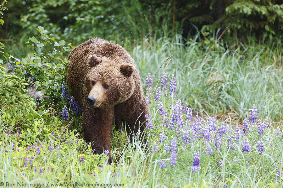 Brown bear in a field of lupine, Lake Clark National Park, Alaska.