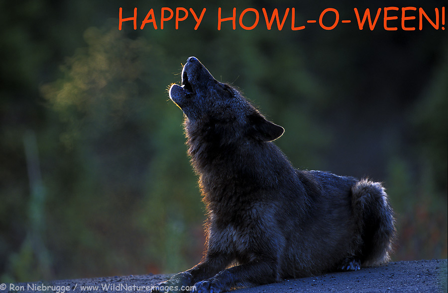 Happy Gray Wolf a Wild Black Gray Wolf Howls