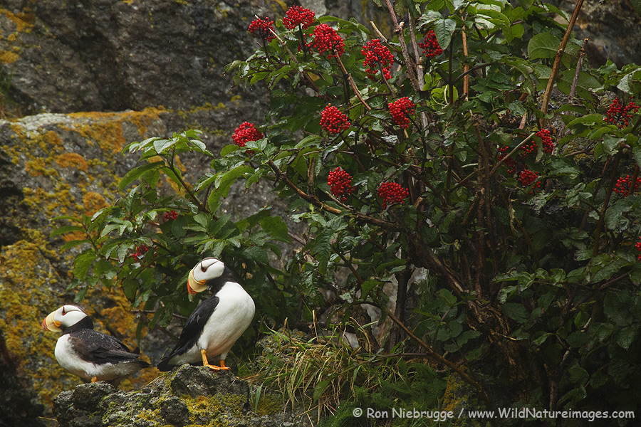 Horned Puffin and Red Baneberry.