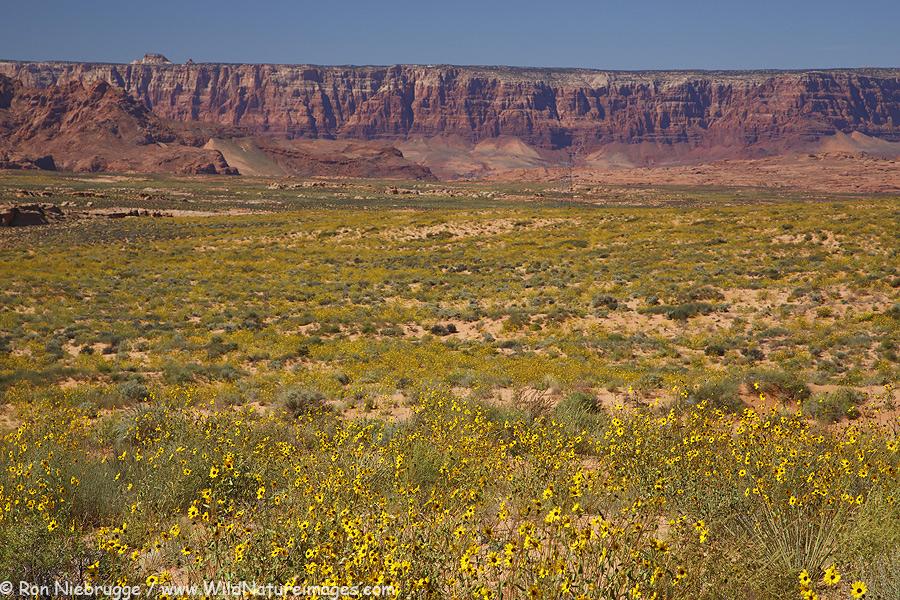 Desert sunflowers near Page, Arizona.