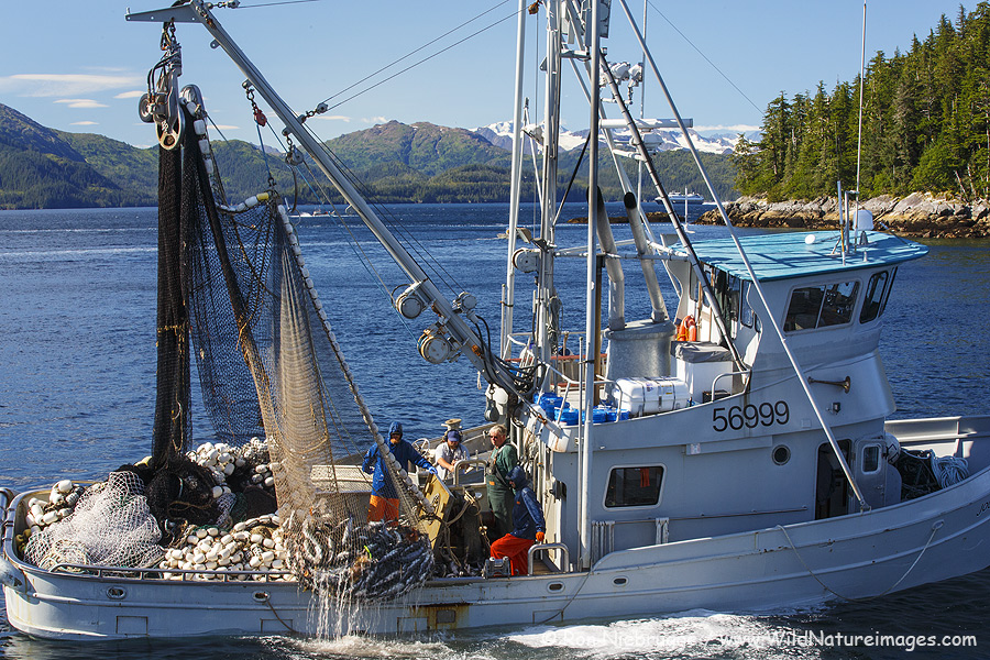 Fishing boat hauling in Pink Salmon in Prince William Sound, Alaska.