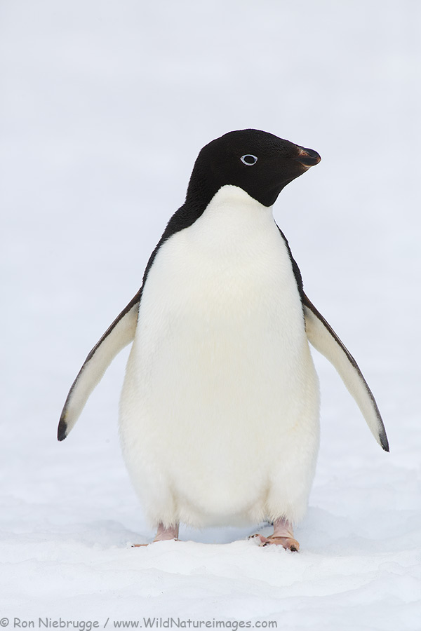 Cute Adelie Penguin Adelie PenguinCute Adelie Penguin