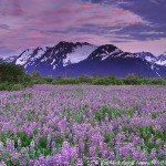 Lupine, Chugach National Forest, Alaska.