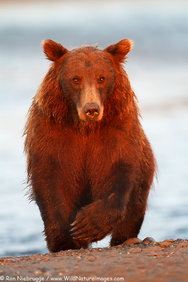 Brown or Grizzly Bear, Lake Clark National Park, Alaska.