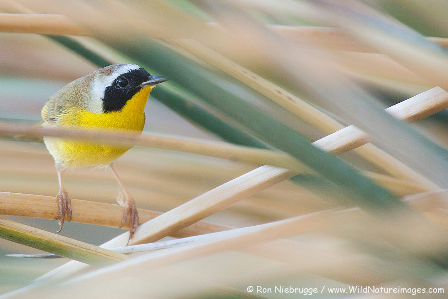 Common Yellowthroat, Borrego Springs, California.