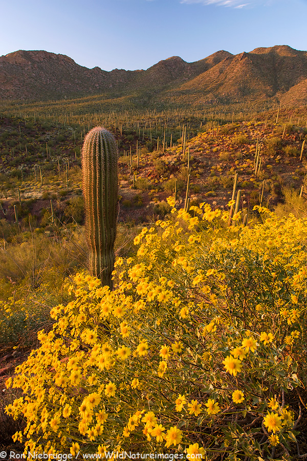 An older photo of wildflowers in Saguaro National Park, near Tucson, Arizona.