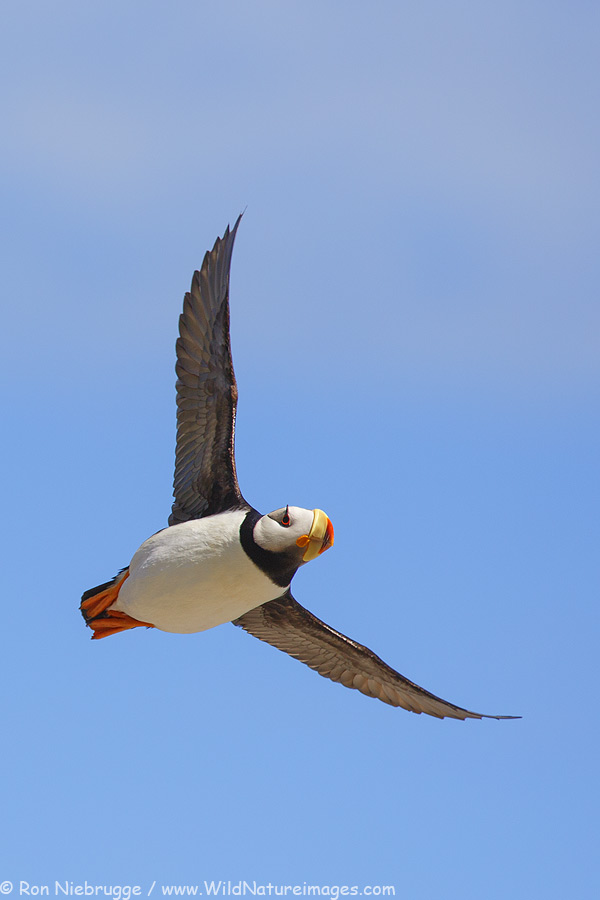 Horned Puffin in flight, Lake Clark National Park, Alaska.