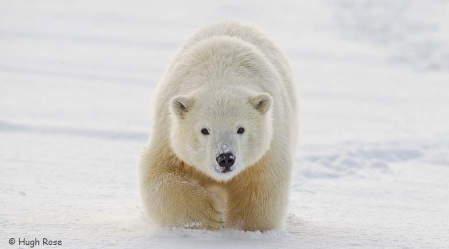 Polar bear photo by Hugh Rose.