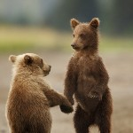 August Alaska Bear Tour Openings