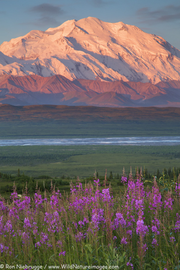 Fireweed and Denali at sunrise last July, Denali National Park, Alaska.