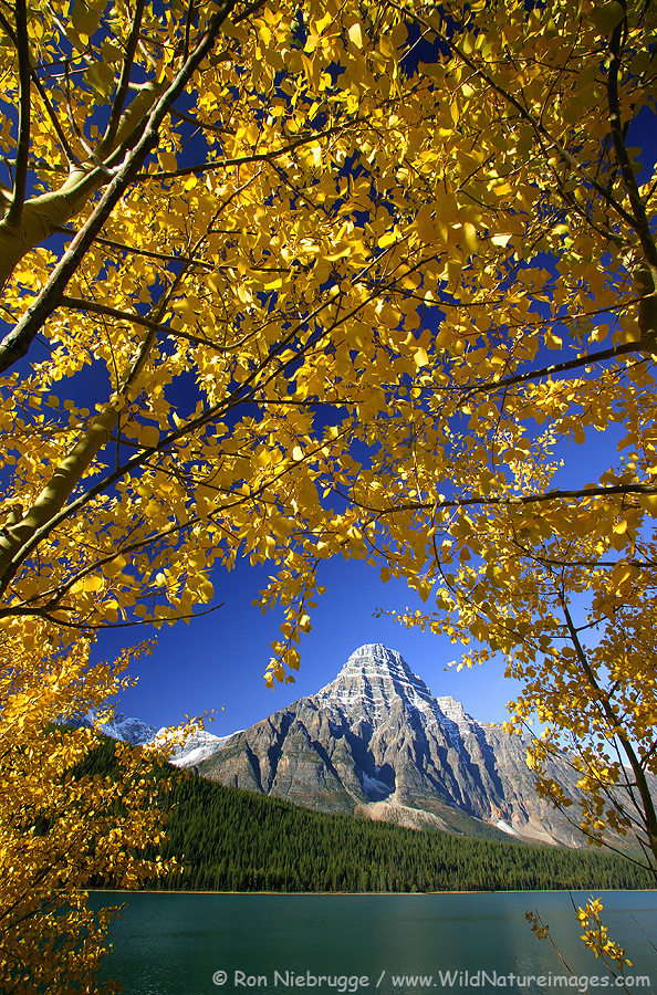 Fall Colors with Mount Chephren at Waterfowl Lake, Banff National Park, Alberta, Canada.