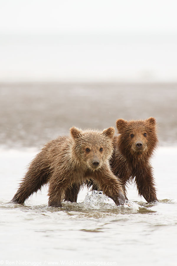 Brown Bear cubs from last June's trip, Lake Clark National Park, Alaska.