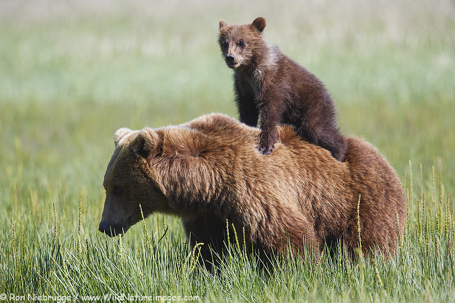 Bear cub on mom's back, Lake Clark National Park, Alaska.