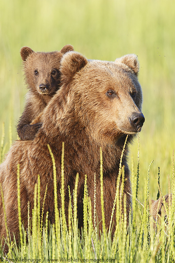 Spring brown bear cub on its mom's back, Lake Clark National Park, Alaska.