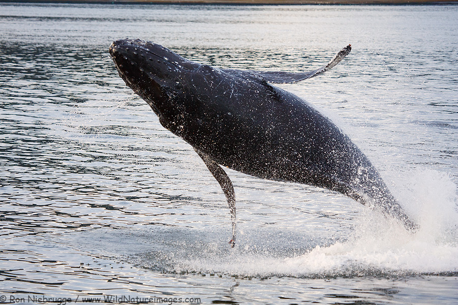 Breaching Humpback Whale, Fredrick Sound, Alaska.