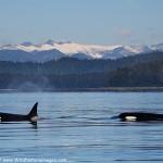 Fredrick Sound Orcas