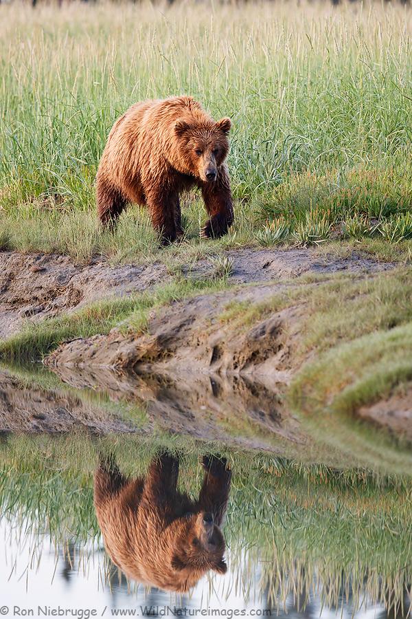 A brown bear walking along a slough, Lake Clark National Park, Alaska.