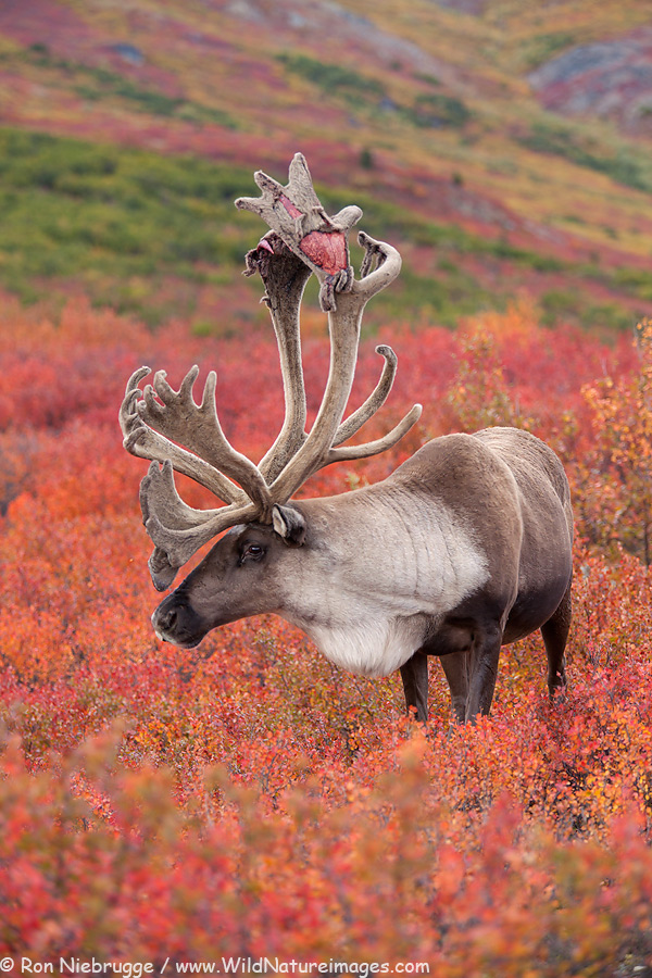 Caribou, Denali National Park, Alaska.