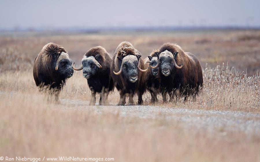 Muskox, Arctic Slope, Alaska.